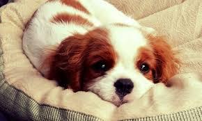 hundvalp bild