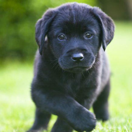 labrador svart