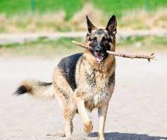 hund med pinne