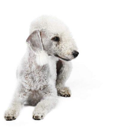 Bedlingtonterrier ras hundar fakta