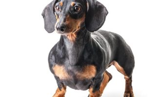 dachshund tax ras