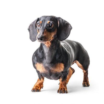 dachshund tax ras