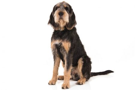 Otterhound-On-White-03